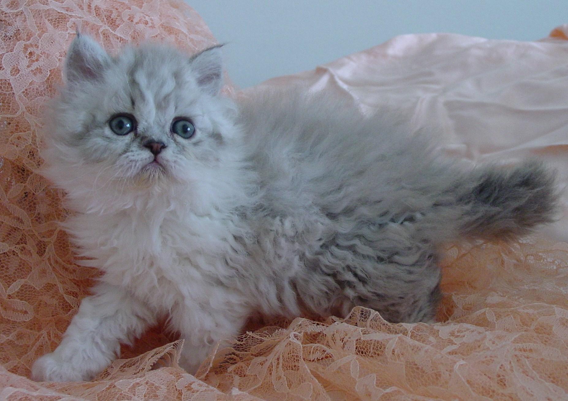 20  Best Of Selkirk Rex Kittens for Sale