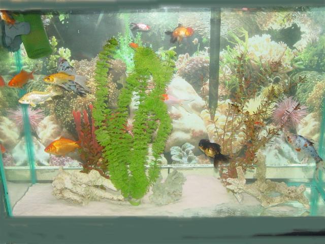 goldfish tank size. These Orandas ( anniversary